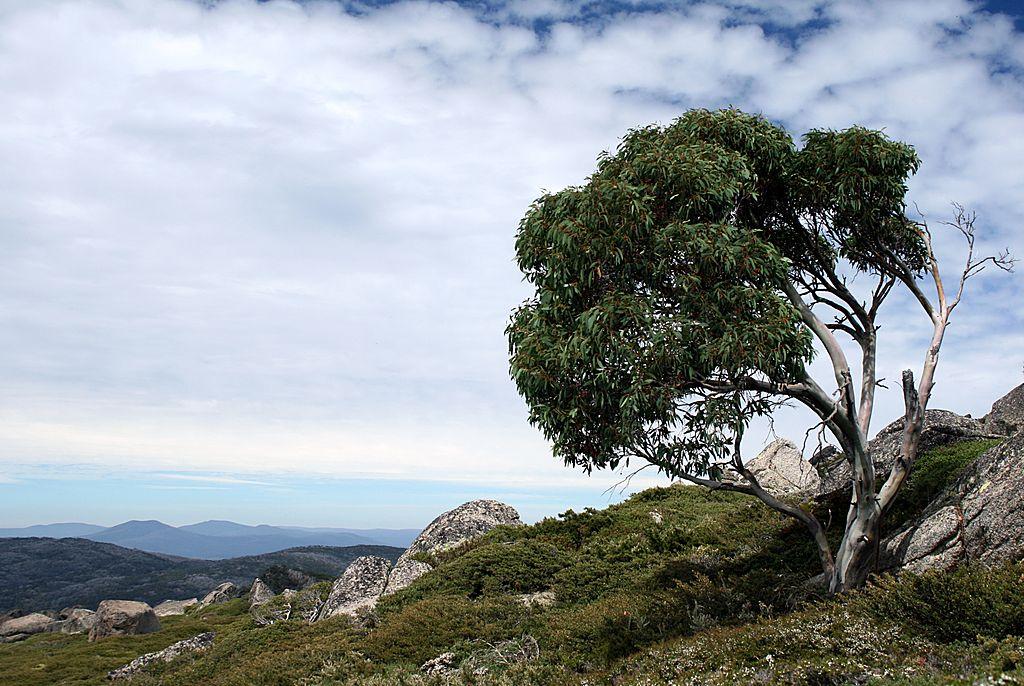 Un eucalyptus en Australie. Découvrez le miel d'Eucalyptus avec Famille Mary