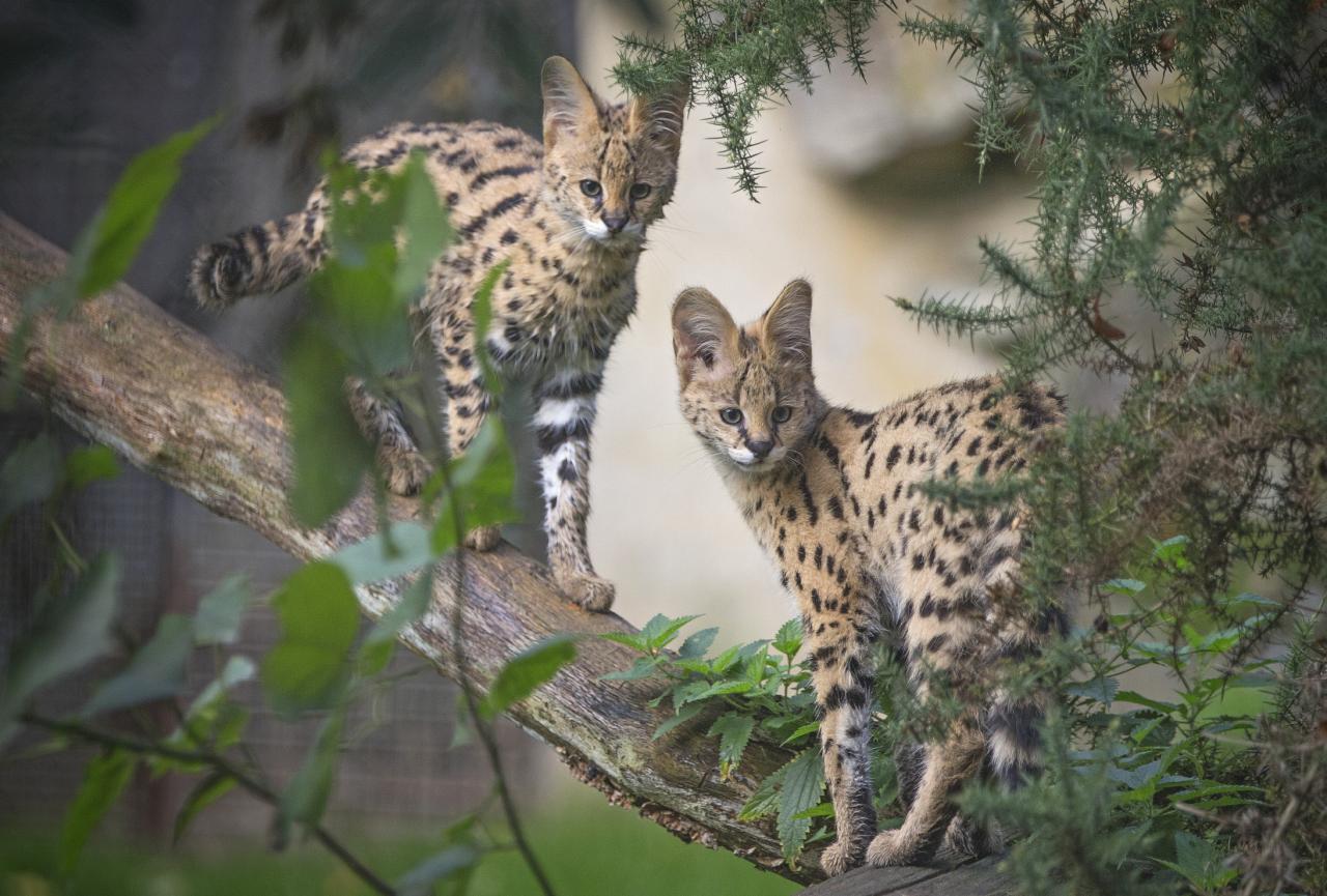 Bébés servals nés au zoo de Thoiry